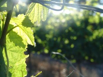 vine grape sunlight